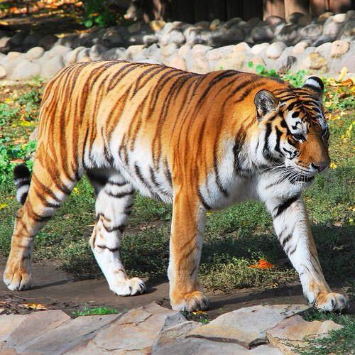 Дальневосточной породы Тигр